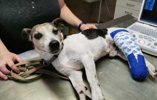 unfallhund-zerschmettertes-bein-gibs Hund Jonas hatte einen riesigen Blasenstein