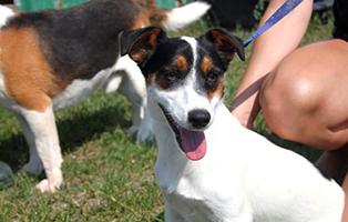 PT_153_Rude_2-Jahre Fünf Hunde aus Polen suchen Aufnahmepaten