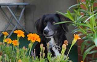 hund-platou-gluecklich-vermittelt-blumenwiese Daisy ist gut untergekommen