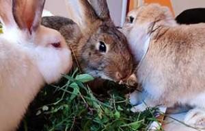kaninchen-bobo-gluecklich-vermittelt-gruppe-300x191 Mikro (Bobo) zieht ein - Statusbericht