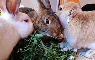 kaninchen-bobo-gluecklich-vermittelt-gruppe Emmy verliert langsam Ihr Misstrauen