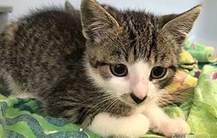katzenbaby-BK-171_20-weiblich 10 Kitten aus dem Tierheim Bückeburg suchen Start-ins-Leben Paten