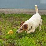 oskar02-patentier-bueckeburg-150x150 Oskar - Jack-Russel-Terrier (BH173/08)