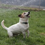 oskar04-patentier-bueckeburg-150x150 Oskar - Jack-Russel-Terrier (BH173/08)