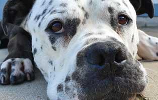 sinn-von-rasseliste.-hund Elliot - alter Tierschutzhund möchte sich verabschieden und bedanken