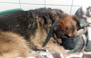 hund-pozsi-ungarn-epilepsie Akute Notfellchen