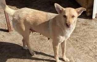hund-weiblich-rumaenien-wilma Acht rumänische Straßenhunde bekommen eine riesige Chance