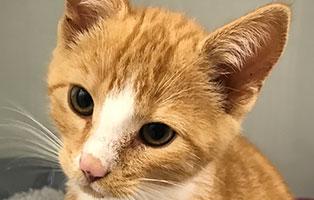 katzenbaby-schnurrbert-bk187-20-maennlich-start-ins-leben Fünf Katzenbabys aus dem Tierheim Bückeburg suchen Start-ins-Leben Paten