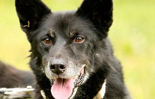 schaeferhundmix-tess-patentier-oberdinger-moos Madame - Heustauballergie macht ihr das Leben schwer