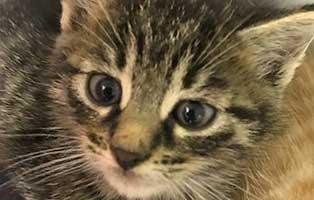 BK209_20-männl Fünf Katzenbabys aus dem Tierheim Bückeburg suchen Start-ins-Leben Paten