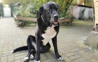 doggen-mix-pinsel-kreuzbandriss-sitzt Aktuelles - Tierschutzliga Dorf