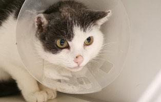 katze-tumor-ohr-trichter-gross Katze wird nach Operation ein Ohr verlieren - Krebs