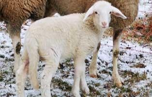 schafe-ziege-schaechtung-gerette-maedel Zwei Mutterschafe mit Lämmern und ein Ziegenbock vor illegalem Schächten gerettet
