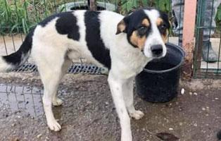hund-floyd-maennlich-4jahre-rumaenien Fünf Hunde aus Rumänien suchen Aufnahmepatenschaften