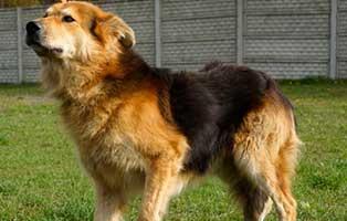 Ruede-Polen-1343548-4Jahre 14 Hunde aus Polen suchen Aufnahmepaten