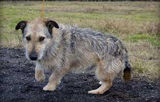 Ruede-Polen-492481-6Jahre 14 Hunde aus Polen suchen Aufnahmepaten