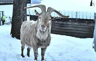 beschlagnahmung-wollaberg-ziegen-bock Unterstützen Sie das Tierheim Wollaberg