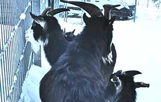 beschlagnahmung-wollaberg-ziegen Mehrere Hundert verwahrloste Tiere aus Privatzoo befreit