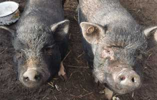 minischweine-gerettet-futterpatenschaft Die Analdrüsen beim Hund