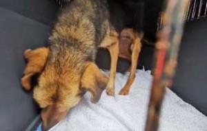 polenhunde-ankunft-hund2-300x191 14 Hunde aus Polen suchen Aufnahmepaten