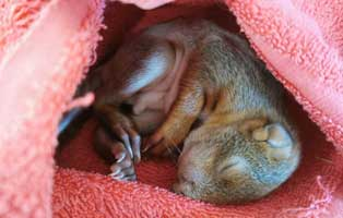 eichhoernchenbaby-unterkühlt-gerettet Struppi Foltos sucht ein neues Heim