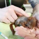 eichhoernchenbaby-unterkuehlt-gerettet-schläft-150x150 Eichhörnchenbaby total unterkühlt in Mauseloch gefunden