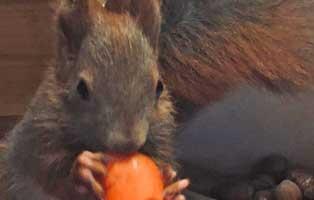 eichhoernchenbaby-unterkuehlt-gerettet-update Eichhörnchenbaby total unterkühlt in Mauseloch gefunden