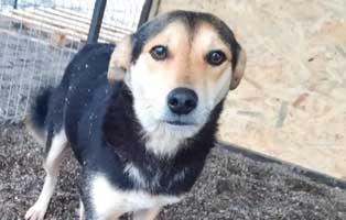 hund-maja-weiblich-rumaenien-1-Jahr Vier Hunde aus einem rumänischen Tierheim suchen Aufnahmepaten