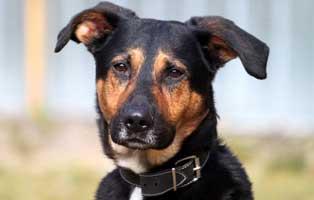 schaeferhund-mix-max-futterpatenschaft-april 3-monatige Futterpatenschaft übernehmen