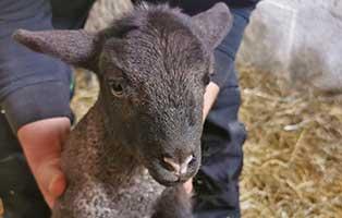 schaf-02-weiblich 40 Schafe suchen Start-ins-Leben Paten Teil1