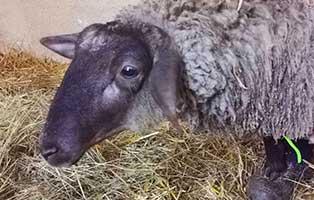 schaf-03-weiblich 40 Schafe suchen Start-ins-Leben Paten Teil1