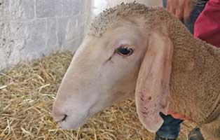 schaf-04-weiblich 40 Schafe suchen Start-ins-Leben Paten Teil1