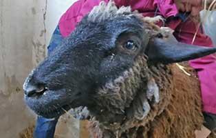 schaf-05-weiblich 40 Schafe suchen Start-ins-Leben Paten Teil1