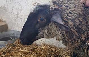 schaf-06-weiblich 40 Schafe suchen Start-ins-Leben Paten Teil1