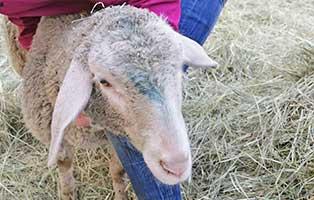 schaf-08-weiblich 40 Schafe suchen Start-ins-Leben Paten Teil1