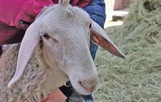 schaf-09-weiblich 40 Schafe suchen Start-ins-Leben Paten Teil1