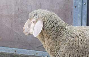 schaf-10-maennlich 40 Schafe suchen Start-ins-Leben Paten Teil1