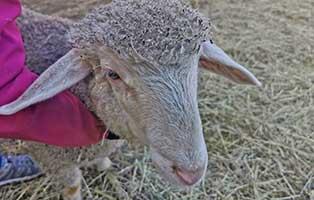 schaf-11-maennlich 40 Schafe suchen Start-ins-Leben Paten Teil1