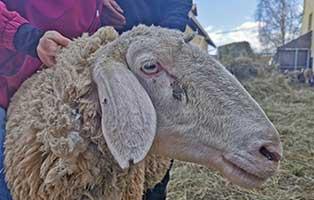 schaf-12-weiblich 40 Schafe suchen Start-ins-Leben Paten Teil1