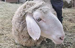 schaf-14-weiblich 40 Schafe suchen Start-ins-Leben Paten Teil2