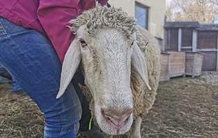 schaf-15-weiblich 40 Schafe suchen Start-ins-Leben Paten Teil2