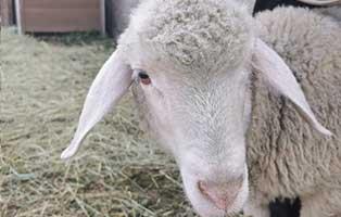 schaf-17-maennlich 40 Schafe suchen Start-ins-Leben Paten Teil2
