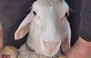 schaf-18-maennlich 40 Schafe suchen Start-ins-Leben Paten Teil2