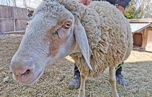 schaf-19-weiblich 40 Schafe suchen Start-ins-Leben Paten Teil2