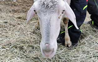 schaf-20-weiblich 40 Schafe suchen Start-ins-Leben Paten Teil2