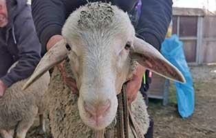 schaf-23-maennlich 40 Schafe suchen Start-ins-Leben Paten Teil2