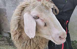 schaf-25-weiblich 40 Schafe suchen Start-ins-Leben Paten Teil2