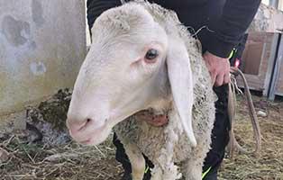 schaf-26-maennlich 40 Schafe suchen Start-ins-Leben Paten Teil2