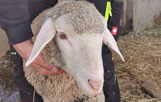 schaf-27-maennlich 40 Schafe suchen Start-ins-Leben Paten Teil3