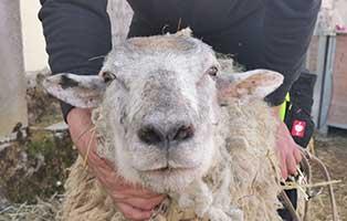 schaf-29-maennlich 40 Schafe suchen Start-ins-Leben Paten Teil3